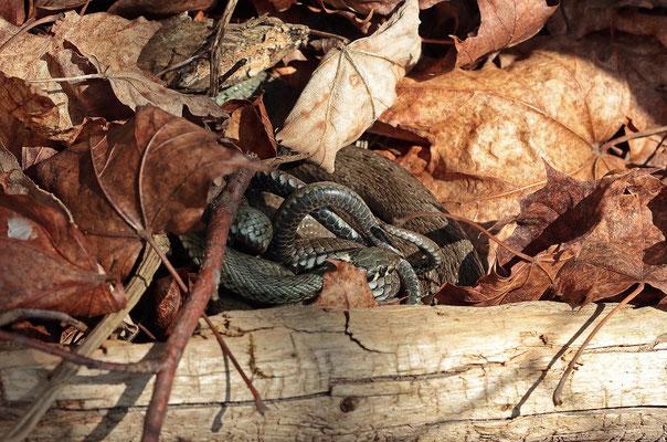 Grass Snakes (Natrix natrix) cuddling