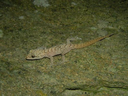 Kotschy's Gecko (Mediodactylus kotschyi) juvenile, Skyros, Greece, October 2015