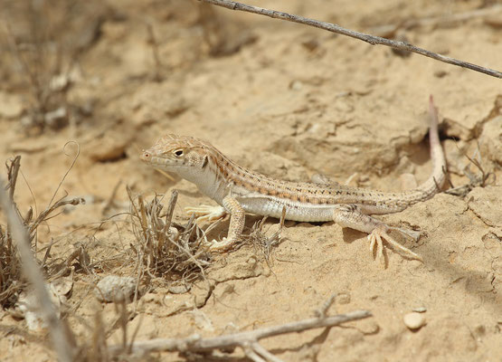 Bosk's Fringe-fingered Lizard (Acanthodactylus boskianus)