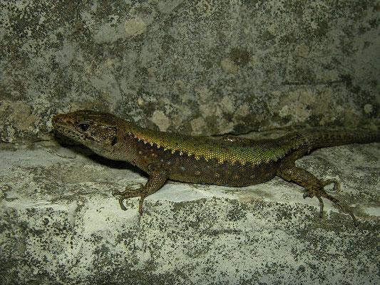 Clark's Lizard (Darevskia clarkorum)