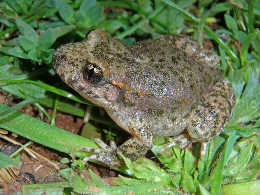 Moroccan Midwife Toad (Alytes maurus)