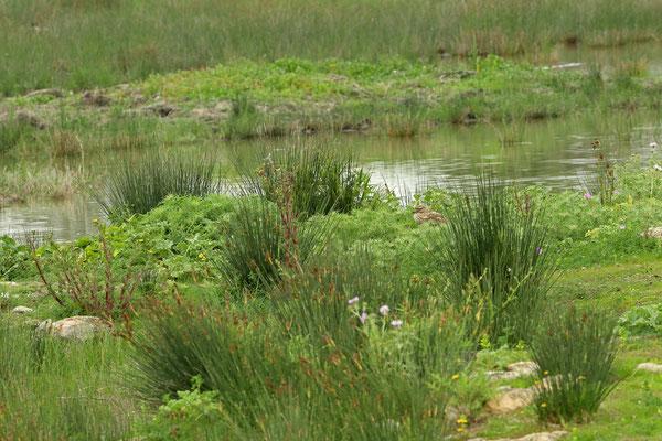 Stone-curlew (Burhinus oedicnemus)