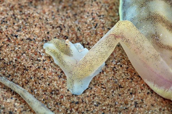 The coolest feature of these geckos, showing why they are called Web-footed Gecko (Pachydactylus rangei).