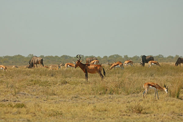 Red hartebeest (Alcelaphus buselaphus) surrounded by Springbok, Wildebeest and Zebra.