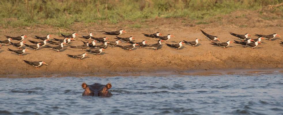 African skimmers (Rynchops flavirostris) with Hippopotamus (Hippopotamus amphibius)