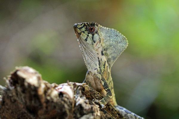 Smooth Helmeted Iguana (Corytophanes cristatus)