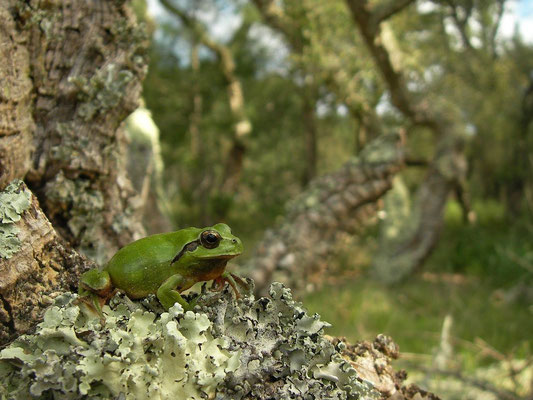Stripeless Tree Frog (Hyla meridionalis) in habitat