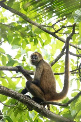 Central American Spider Monkey (Ateles geoffroyi) © Jasper Boldingh