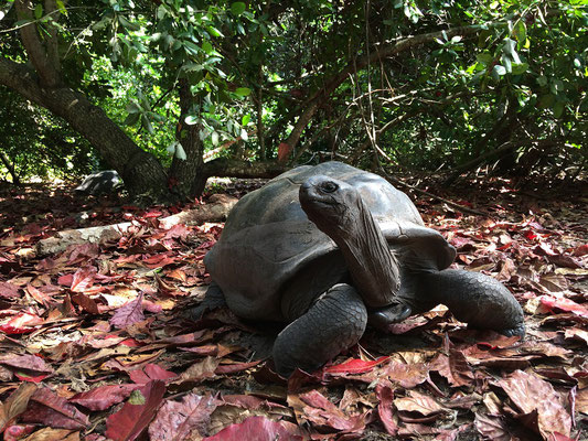 During the day the Aldabra Giant Tortoises (Aldabrachelys gigantea) like to rest in the shade of Indian Almond trees.
