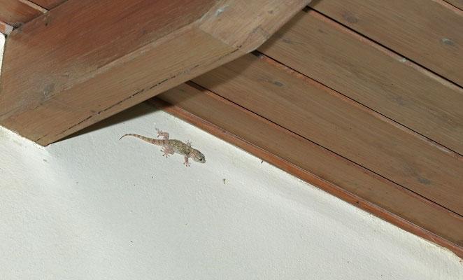 Moorish Gecko (Tarentola mauritanica) on the hotel wall.