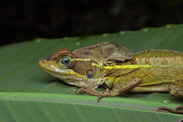 Brown Basilisk (Basiliscus vittatus)