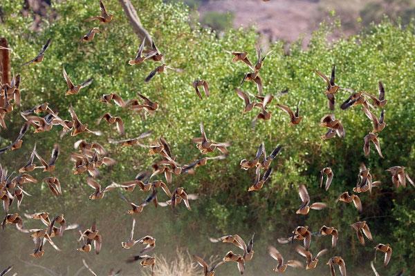 Namaqua Sandgrouse (Pterocles namaqua)