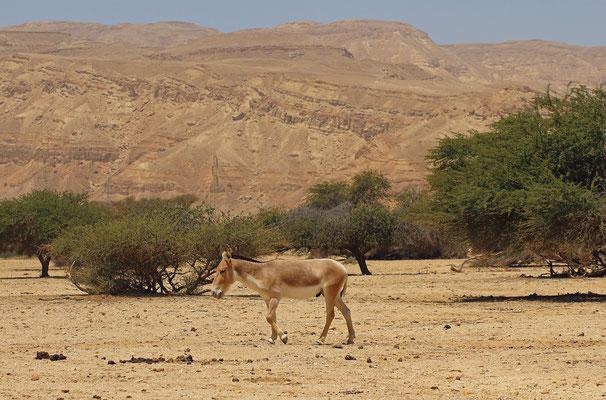 Onager (Equus hemiones)