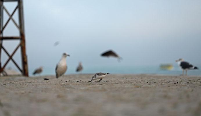 Sanderling (Calidris alba) foraging between the gulls.