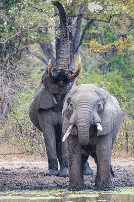African Elephant (Loxodonta africana) bulls at breakfast