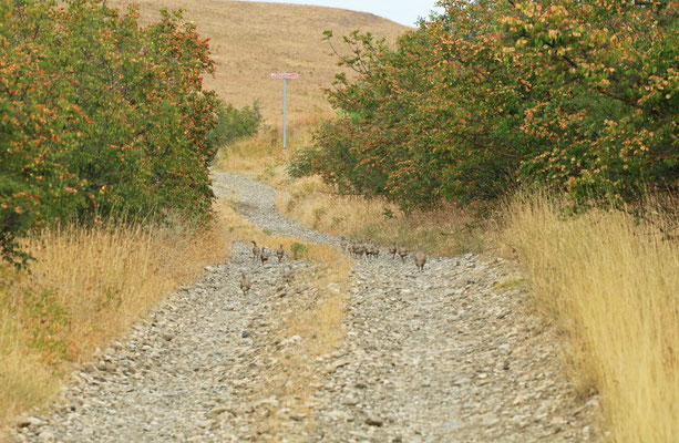 Family of Chukar (Alectoris chukar) on the road to Vashlovani.
