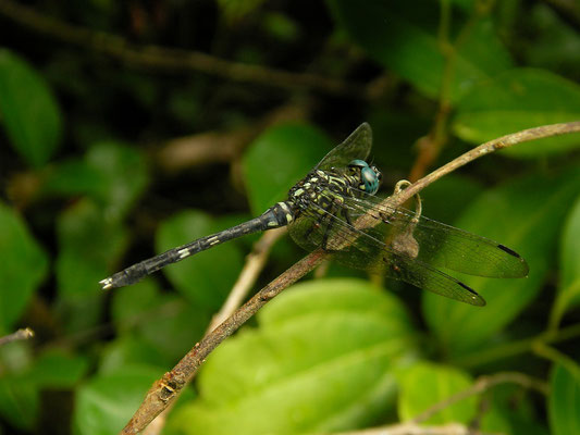 Seychelles Skimmer (Orthetrum stemmale wrightii)