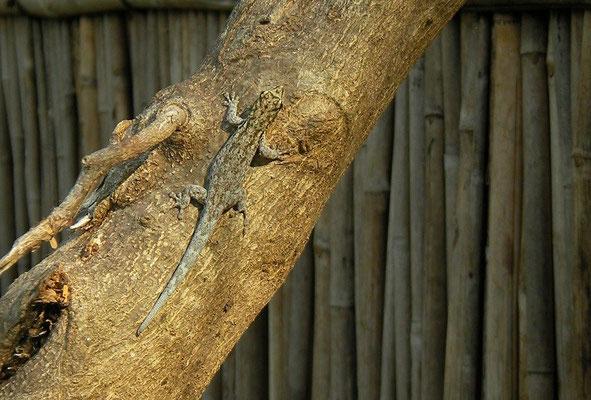 Chobe Dwarf Gecko (Lygodactylus chobiensis) male