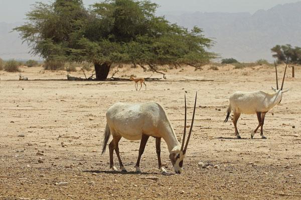 Arabian Oryx (Oryx leucoryx) and Dorcas Gazelle (Gazella dorcas)