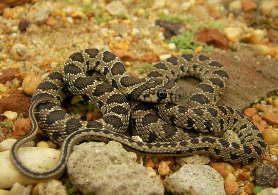 Horseshoe Whip Snake (Hemorrhois hippocrepis) juvenile, Huelva, Spain, December 2010