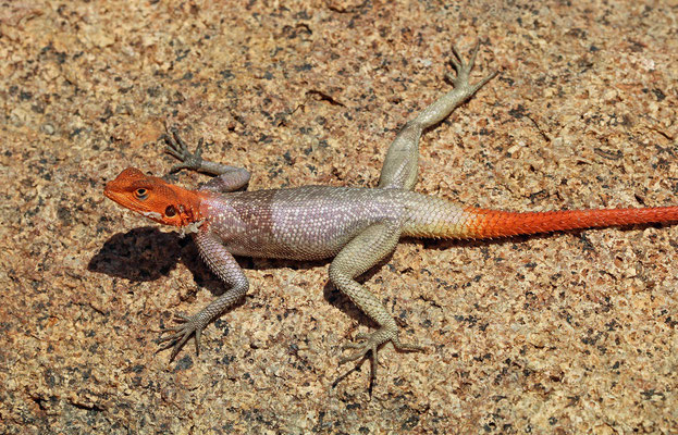 Namib Rock Agamas (Agama planiceps) male