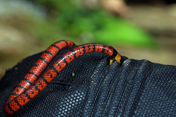 Variable Coral Snake (Micrurus diastema) testing our gloves.