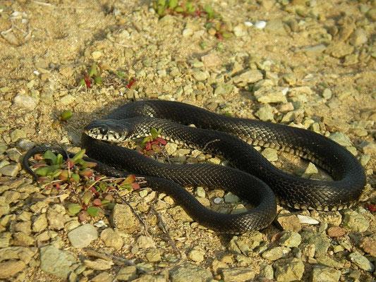 Grass Snake (Natrix natrix persa)