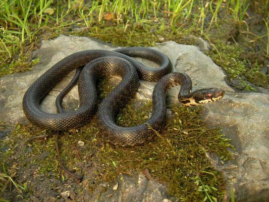 Persian Rat Snake (Zamenis persicus)