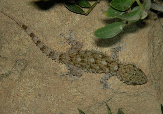 Moorish Gecko (Tarentola mauritanica), Malta, July 2010