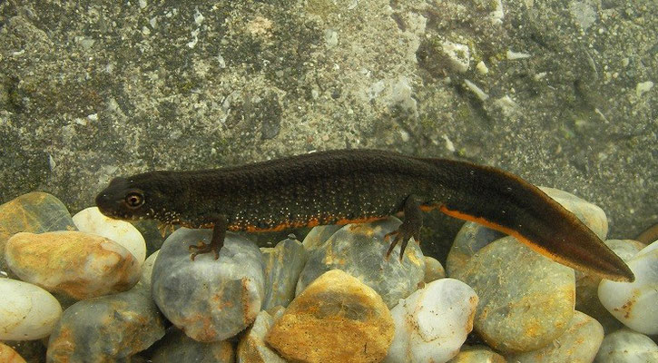 Danube Crested Newt (Triturus dobrogicus) female, Lanzhot, Czech Republic, June 2013