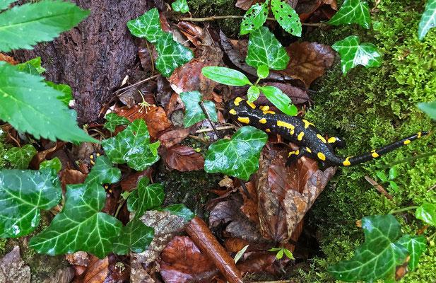 Fire Salamanders (Salamandra salamandra) in-situ