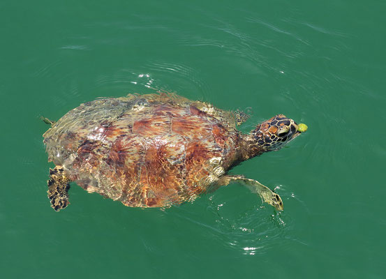 Green Sea Turtle (Chelonia mydas) feeding.