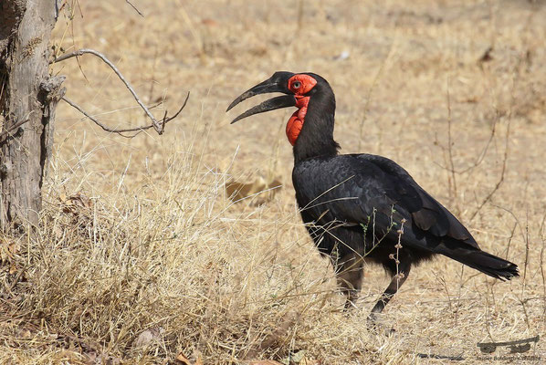 Southern ground-hornbill (Bucorvus leadbeateri)