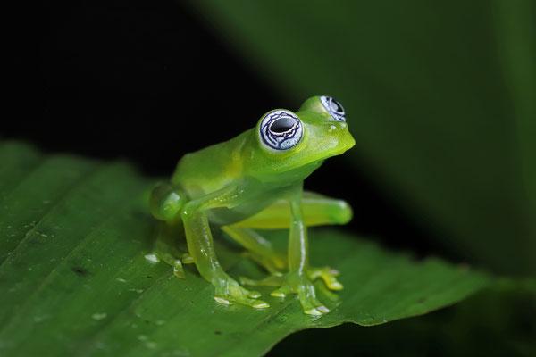 Ghost Glass Frog (Sachatamia ilex)