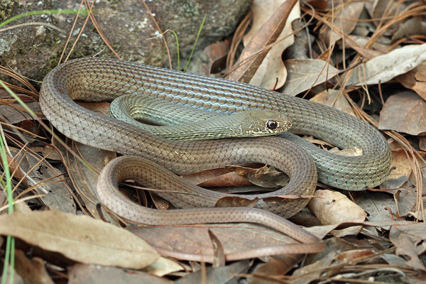 Neotropical Whip Snake (Masticophis mentovarius)