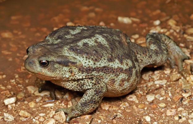 Giant Common Toad (Bufo bufo)