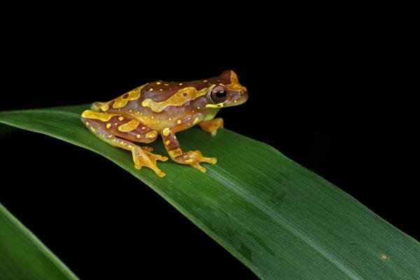Hourglass Tree Frog (Dendropsophus ebraccatus)
