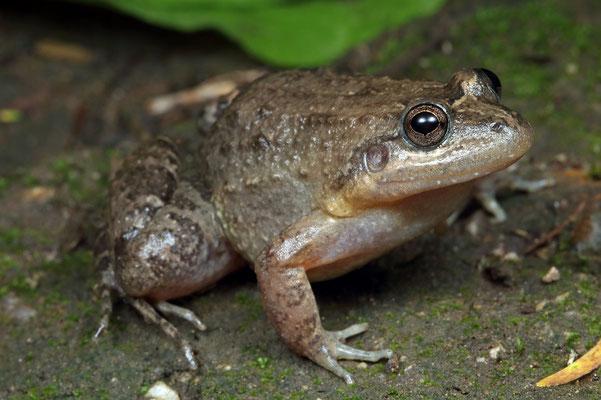 Sabinal Frog (Leptodactylus melanonotus)