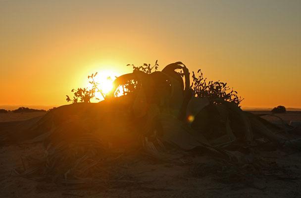 Welwitschia (Welwitschia mirabilis) at sunset.