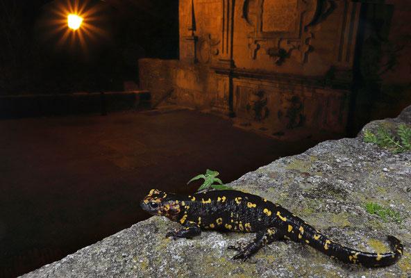Urban Fire Salamander (Salamandra salamandra gallaica)