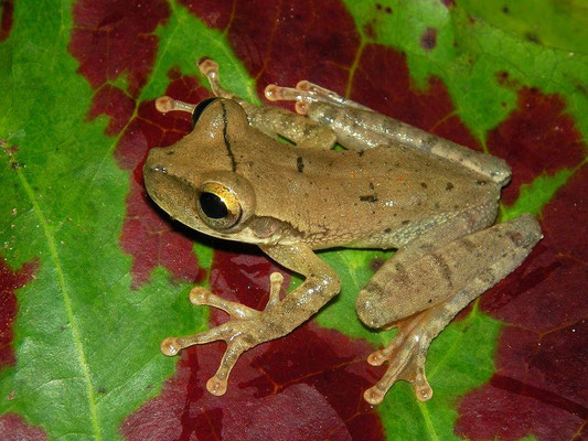yellow-toed treefrog (Hypsiboas microderma)