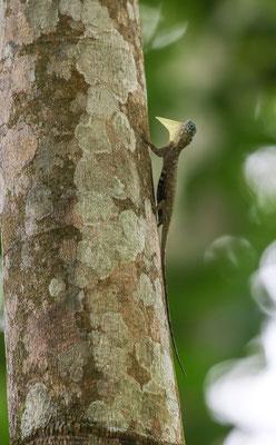 Sumatran Gliding Lizard (Draco sumatranus) © Jasper Boldingh