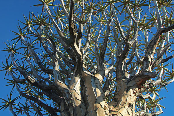 Quiver Tree (Aloidendron dichotomum) canopy