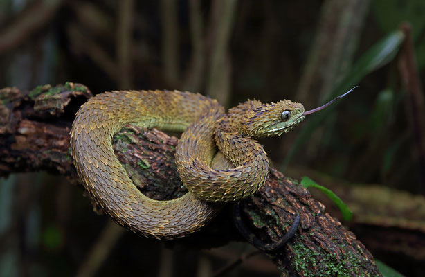 Rough-scaled Bush Viper (Atheris hispida) #2