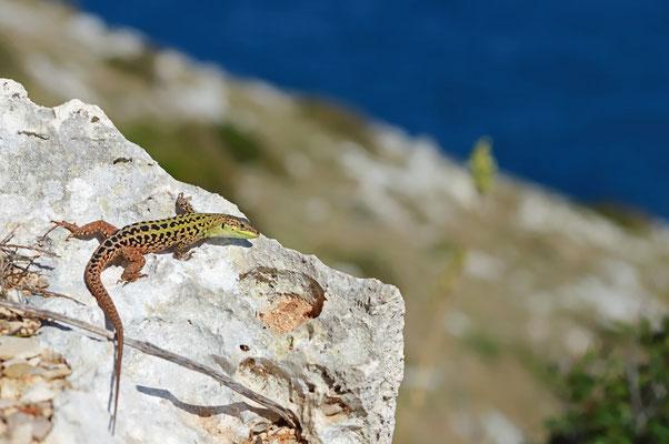 Italian Wall Lizard (Podarcis siculus campestris)