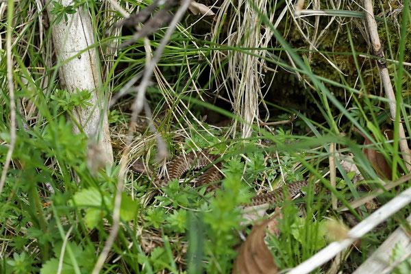 Adder (Vipera berus) juvenile