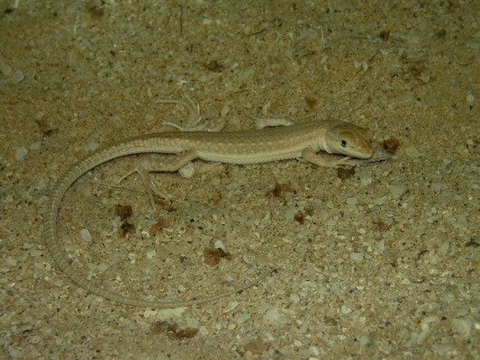 Hadramaut Sand Lizard (Mesalina adramitana)