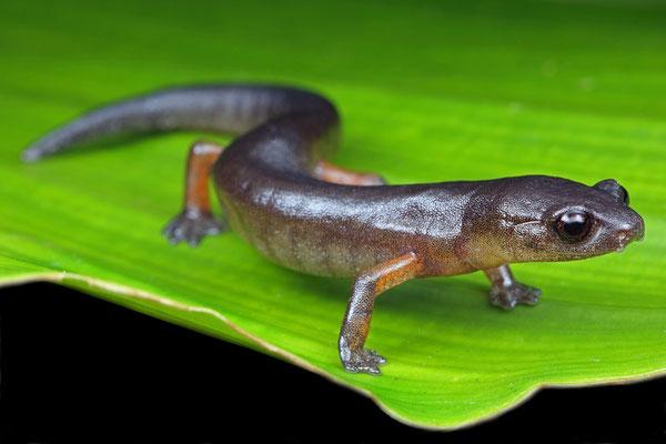 Yellow-legged Mushroomtongue Salamander (Bolitoglossa flavimembris)