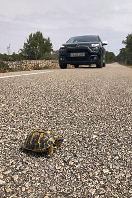 Hermann's Tortoise (Testudo hermanni) crossing the road.