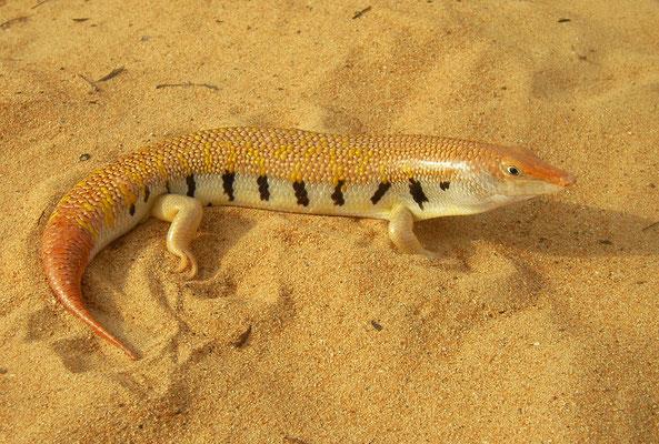 Arabian Sand Skink (Scincus mitranus)